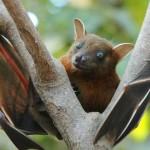 Western Ghats Bat