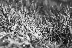 Western Ghats Grass