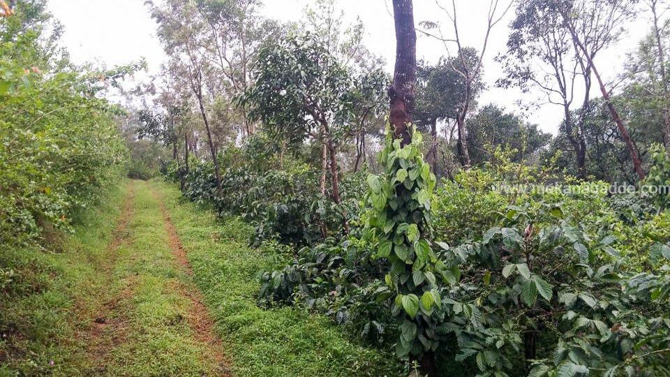 Coffee Estate Walk