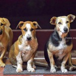 Dogs at Mekanagadde Homestay