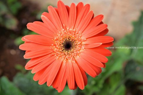 Gerbera Flower Orange