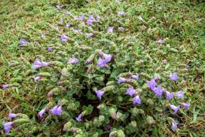 Kurinji Flower Western Ghats