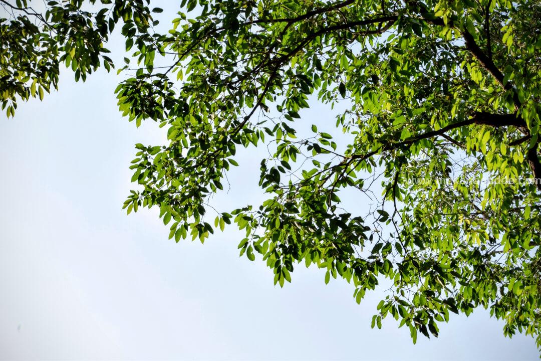 Tree near Homestay