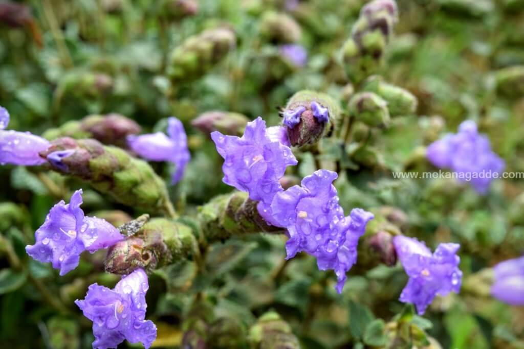 kurinji Flower - Strobilanthes kunthiana