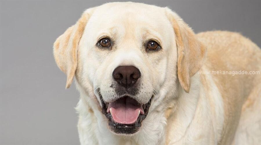 Labrador Retriever Chikmagalur