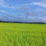 paddy fields countryside