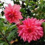 Mekanagadde Homestay Flower 2