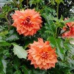 Mekanagadde Homestay Flower 3